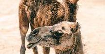 OMAN URLAUB / Traumreiseziel Oman, ein Land auf der Arabischen Halbinsel, umfasst Wüsten, Oasen in Flussbetten sowie eine lange Küste entlang des Persischen Golfs, des Arabischen Meers und des Golfs von Oman. Kommt mit auf ein Abenteuer und plant mit unserem Pinterest Board eure nächste Reise in den Oman!