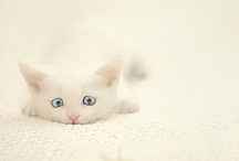 Mooncat / The Mooncat, a white Turkish angora mix, with blue eyes, was adopted from a shelter when he was a year and a half old. This is his virtual baby album, featuring kittens who could have been him....and maybe they were ;-)  / by Granny Grue