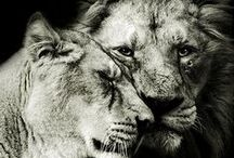"| f e l i N e | / ""You know you are truly alive when you're living among lions.""  ― Karen Blixen"