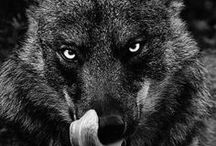 | w o L f | / Well, wolves will pretty rarely hunt. You're vulnerable if you're on your own or injured. But for lone wolves, get up high, show them that you're not injured, face 'em off, be authoritarian with it, and look 'em in the eye. -- Bear Grylls