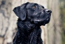 """Things that make me go """"AW!"""" / Cute Animals... Mostly Black Labs! / by Alex Geisen"""