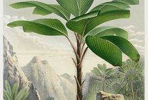 Vintage botanical illustration / Botany book, botanical illustration