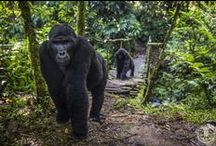 Sanctuary Gorilla Forest Camp / Sanctuary Gorilla Forest Camp is nestled deep inside Bwindi Impenetrable Forest, a UNESCO World Heritage Site in southwest Uganda. This camp is one of the most remote and atmospheric in Africa.