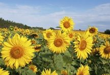 SUNFLOWERS brighten my day and my life / by Maxine Wallis