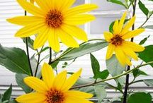 Yellow / Yellow plants and flowers look great in your garden,