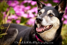 Isabelle: my darling Husky mix! / Isabelle Siberian Husky mix San Diego Ca Isabelle is a Therapy Dog and enjoys doing tricks for food.  :)  Pam's Dog Academy Pam's Dog Training, Pamela Johnson / by Pam's Dog Academy