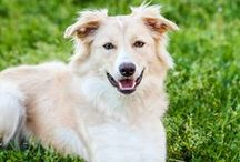 """Gwynneth """"AKA Wynnie"""": The prettiest gold & white Border Collie / Wynnie is a Gold & White (ee Red) Border Collie.  She is the sweetest girl, a social butterfly with a love for learning!  One day she will have the most darling puppies with an outstanding temperament!  We LOVE our little girl!"""