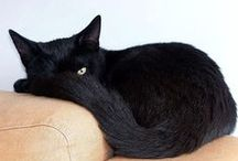 Black Cat-Sargent Pepper / My crazy cat... / by Jean Mayo