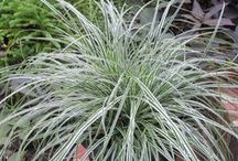 Sedges / The sedges we grow are in the genus Carex. It's a very diverse group with a range of colors, foliage widths, and niches. There's a sedge for almost any landscape situation.