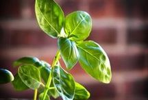"""Growing Basil / A nod to """"the king of the herbs"""". Get tips and tricks for growing basil and ideas for use -- not just recipes! / by Victorized"""