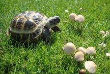 Tortoise / What a fun, amazing pet to have, easy care and easy to feed, easy to love.  Gee, a pet that eats like me. / by Jerilyn Jund
