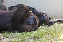 Regenstein Center for African Apes