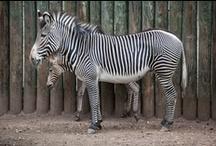 Antelope & Zebra Area