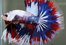 Aquarium Fish and Care / Tips for keeping an aquarium fish healthy. We are starting with Betta's / by Denise