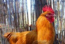 Chicken Chatter / Raising chickens / by Gretchen Everman