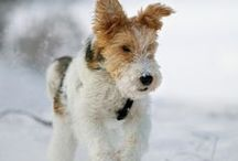 Fox Terrier Wire love