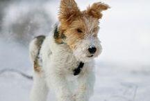 Fox Terrier Wire love