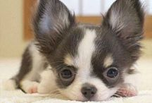 Chihuahua Obsession