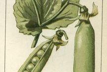 1914-1918: Aanbevolen groentesoorten en variëteiten / In de praktijk werden er in de oorlogstuintjes vooral veel aardappelen geteeld, wat niet altijd even goed lukte met de aardappelziekte en de natte zomers.  Daarnaast zag je vooral calorierijke (erwten, bonen,...) en 'grove' groenten (kolen, wortelen, raapkool,...).  Verder werden echter nog heel wat meer groentensoorten en variëteiten onder de aandacht van de volkstuinders gebracht.  Van 'Het hofje der planters' verschenen van 1917 tot 1942 maar liefst 250 000 exemplaren in Vlaanderen.