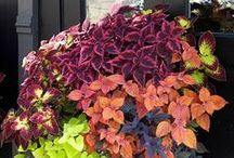 Container Garden Ideas / Container Garden Ideas - Container Gardening, Flower & Plant Combinations. / by DIY BOARDS