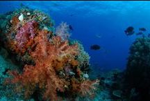 Indonesia Diving  / Indonesia offers some the the best scuba diving locations in the world, with incredible reefs and biodiversity.