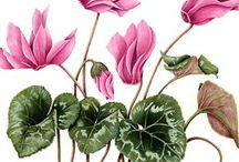 Botanical Illustrations / As both an avid gardener and an art lover, I can't resist these botantical illustrations. Mostly done in watercolour or pen and ink, the examples here are both contemporary and vintage.