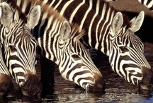 Stunning Zebra