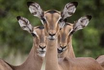 The Graceful Impala