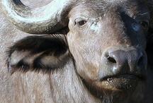 The Great Buffalo