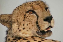 Sleek Cheetah