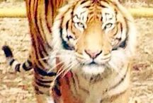 Tiger / Original photos of tigers from zoos all over the world