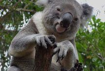 Koala / Original pictures of koalas from zoos all around the world