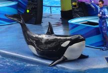 Killer Whales / Original photos of killer whales from all over the world