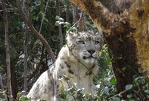 Big Cats / Original pictures of big cats from zoos around the world