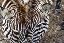 Zebra / Original photos of zebras from zoos all over the world