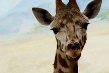 Giraffe / Giraffes from zoos around the world