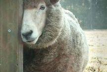 My dearest Sheep