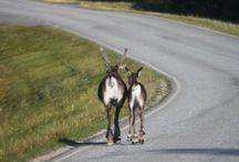 Reindeer / Reindeers in MyLapland!