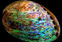 Abalone / by Liz Dyer