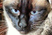 Çıtçıt ve arkadaşları / Cats, siamese