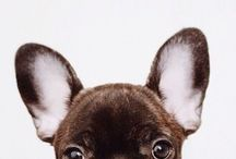 Frenchie Love! / I might have a slight obsession with French Bulldogs! I need one in my life!