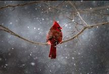 Cardinals / by Michelle Serl