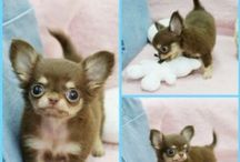 I GOT a Chihuahua!!