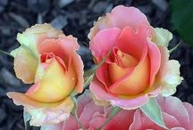Fabulous Roses!