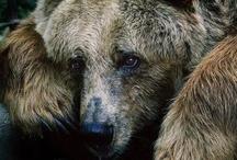 {Bears}