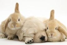 Golden Retrievers & Labradors