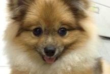 Lucy the Pom / Pomeranian, my friend. / by G-nie Arambulo