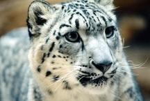 Stories About Snow Leopards / by Snow Leopard Trust