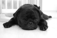 Pugs Life <3 / by Jesica Bellfield