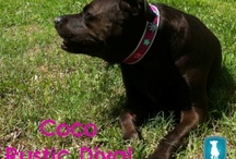 Coco Style / Items that would be perfect for Coco Princess.  After all.... she works very hard as the chief dog treat taster at Dog Pack Snacks. / by Debbie @ Dog Pack Snacks
